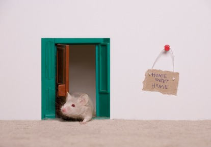 iStock Rodent in House Xsmall Pesky Winter Guests