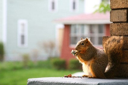 How to Rid Your House of Squirrels - Quicken Loans Zing Blog