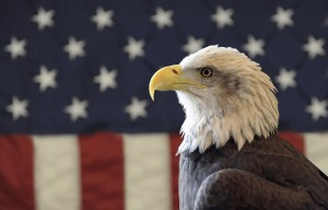 BaldEagle AmericanFlag 300x192 Warm and Fuzzy Thoughts About Veterans for the 4th of July