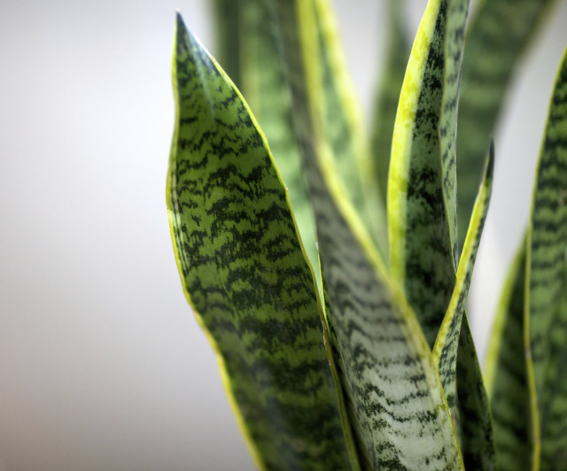 Close-up of houseplant sansevieria
