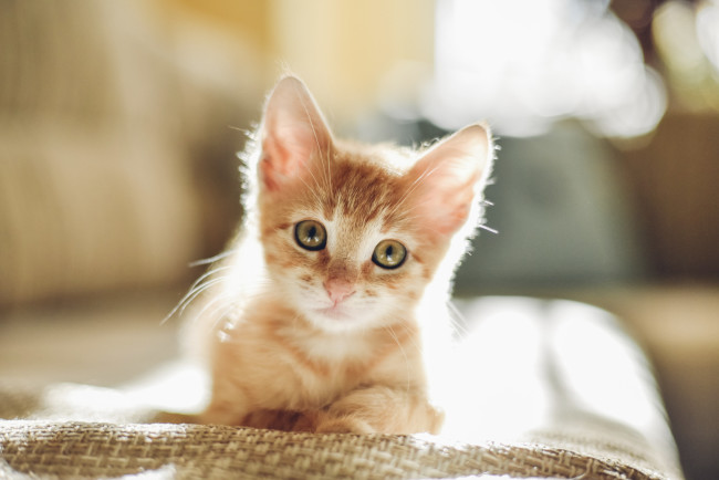 tan kitten with green eyes