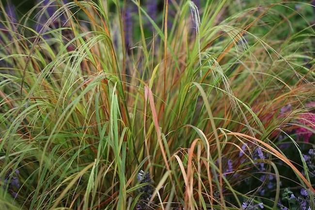 Pheasant's tail grass