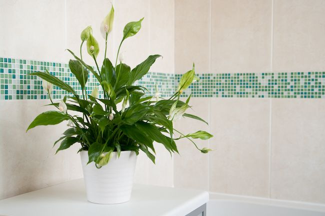 Potted peace lily in a white and blue bathroom