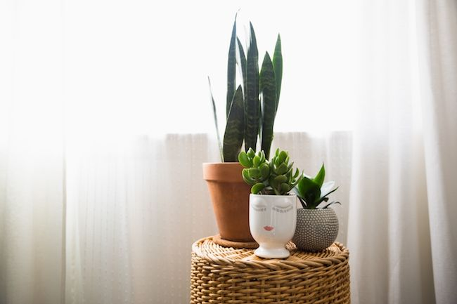 potted snake plant